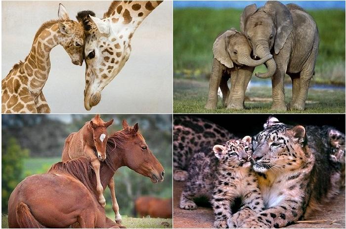 Нежные отношения между родителями и детьми в животном мире.