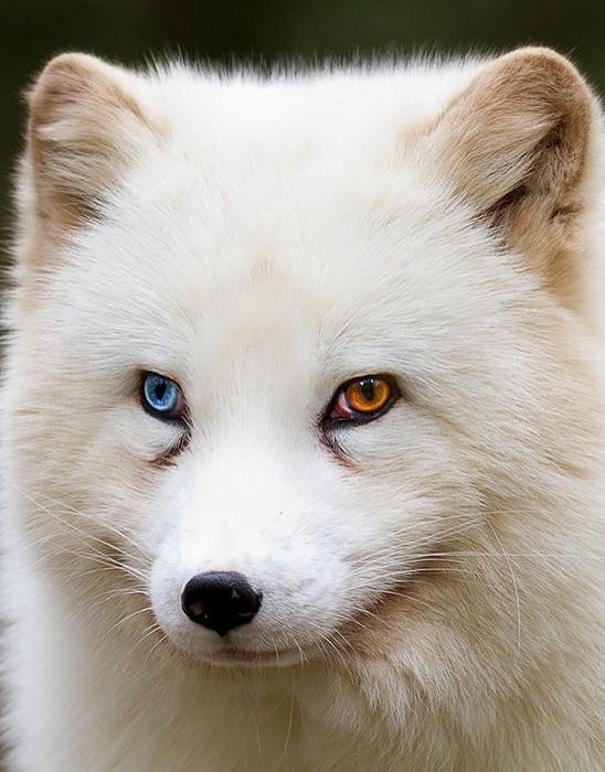 Песец - хищное млекопитающее семейства псовых.