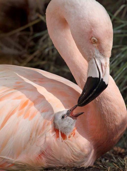 «Птичьим молоком» называют не только всем известное лакомство, но и особое вещество, которым некоторые птицы выкармливают своих птенцов.