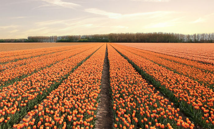 В середине апреля на полях Голландии расцветает более 7 миллионов разноцветных тюльпанов.