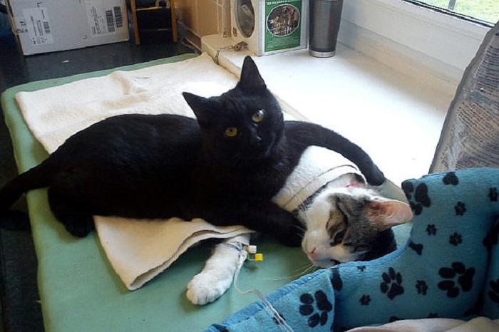 Добрый кот-медбрат из польского приюта для животных.