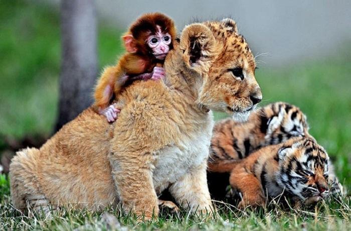 Эти милые детки беззаботно играют в Guaipo Manchurian Tiger Park в Шэньяне, провинция Ляонин.