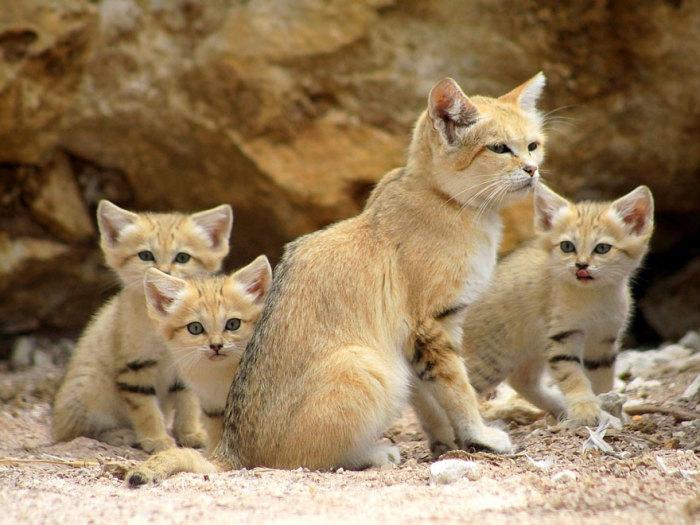 Песчаные кошки имеют небольшое туловище, короткие ноги, большую приплюснутую голову с широкой мордой и крупными, расположенными по бокам ушами без кисточек, и большие желтые глаза.