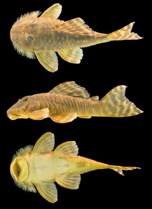 Плоский рот рыбы позволяет ей прикрепляться к другим рыбам и таким образом плыть в их направлении.