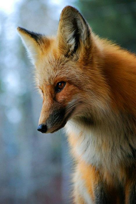 Хитрость и коварство шикарной лисицы. Фотограф - Daniel O Malley.