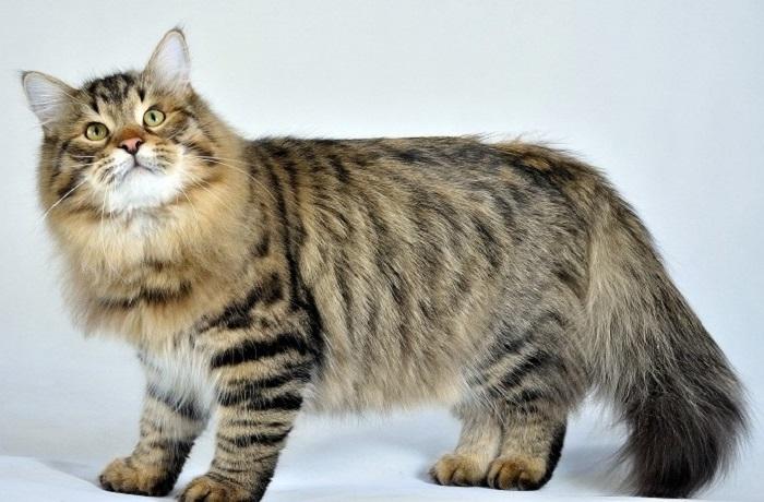 Полудлинношерстная кошка, получившая свое название благодаря месту своего происхождения - Сибири. | Фото: playserver.net