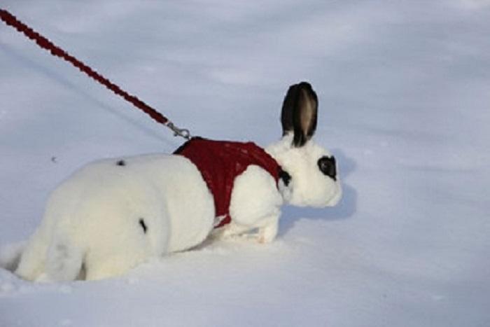«Моего кролика очень заинтересовал снег, поэтому он никак не хотел возвращаться с прогулки».