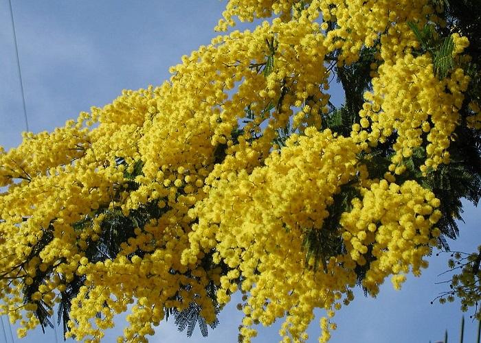Мимоза - крайне нежное весеннее растение.