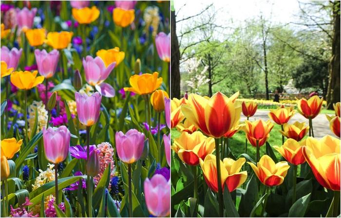 Впечатляющие фотографии цветущих голландских тюльпанов.