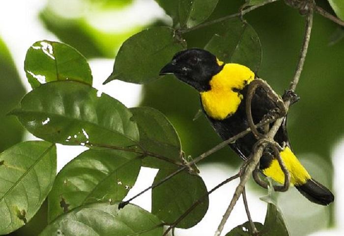 Этот вид птиц обнаружен в лесах Гвинеи в 2003 году.