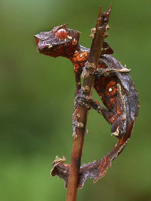 Этот вид ящериц является частым обитателем девственных лесов Мадагаскара.