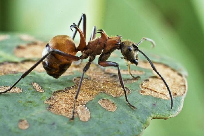 Муравей был обнаружен в национальном парке Вираши в 2007 году. Его изогнутые крюкоподобные лапы с легкостью впиваются в кожу.