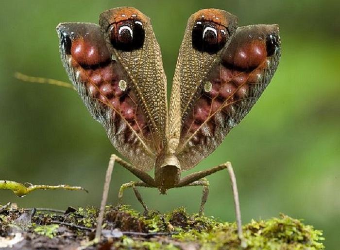 Павлиноподобный кузнечик обнаружен в горах Гайаны, Акараи. Это большое насекомое использует эффективные стратегии, чтобы защитить себя.