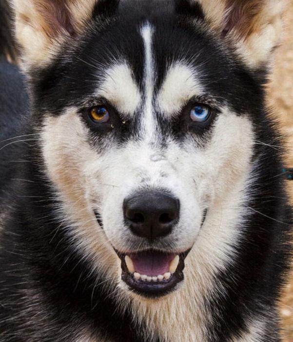 Хаски - порода северных собак.