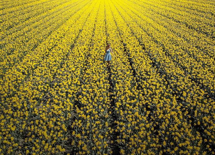 Море из желтых тюльпанов недалеко от Амстердама (Нидерланды).
