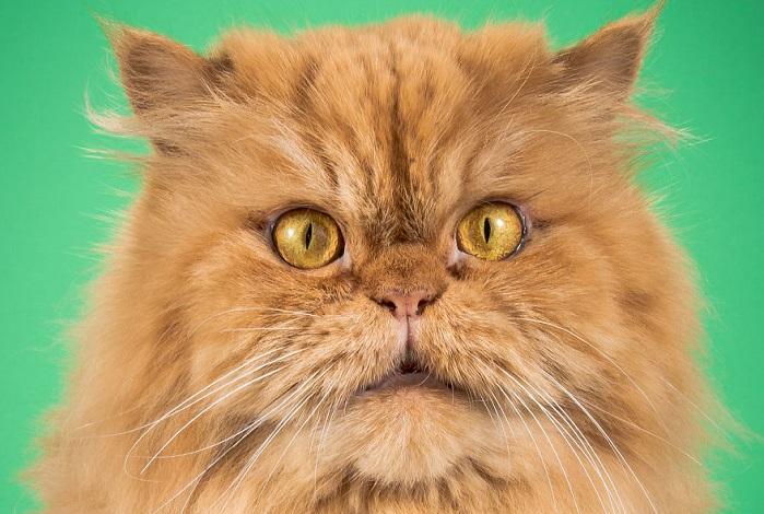 Очаровательные коты толстопузики.