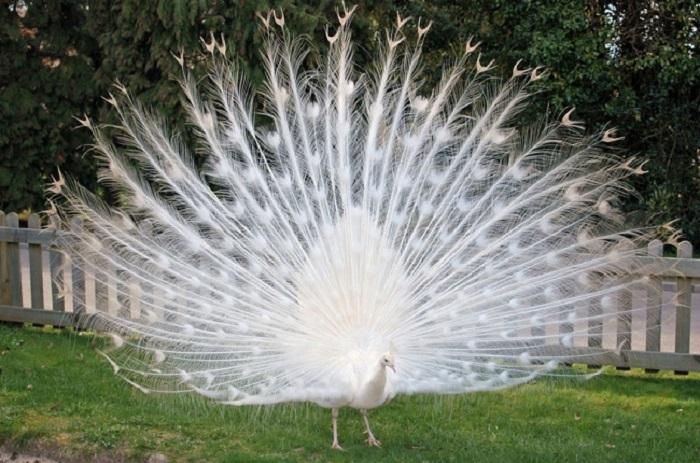 Белый павлин из Кентербери не может найти партнёршу – ему очень трудно привлечь самку из-за нехватки цвета на оперении.