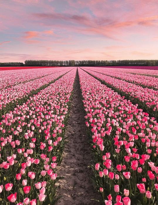 Тюльпанное поле в Нидерландах.