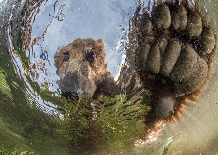 Автор фотографии «Жидкий медведь» - Майк Коростелев (Mike Korostelev).