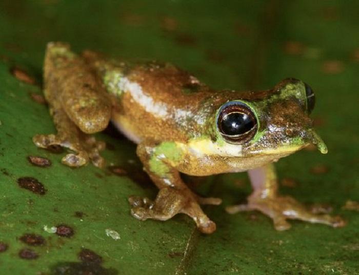 Лягушка имеет длинный выступ на носу, который поднимается вверх, когда самец ищет себе самку, или же вниз, когда он менее активен.