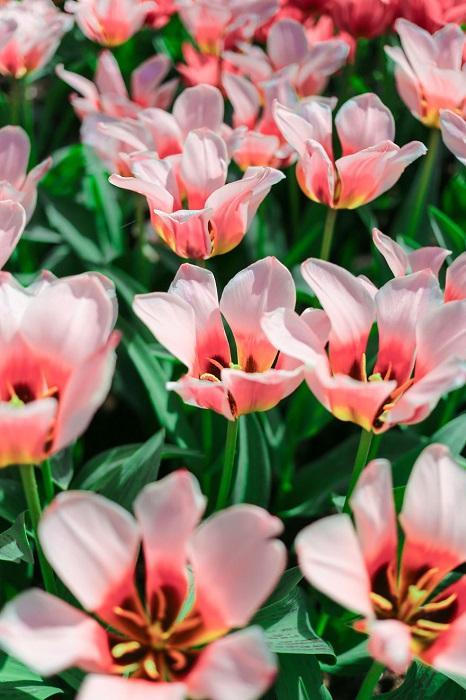 Нидерланды стали второй родиной для ярких и многообразных тюльпанов.