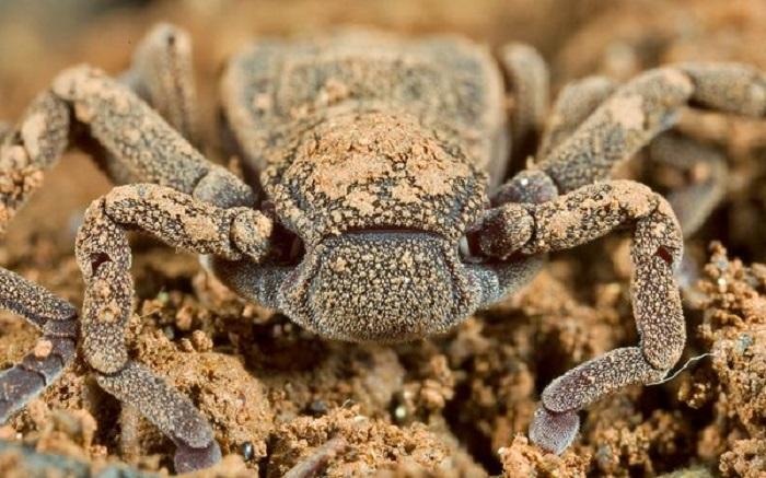 Возраст доисторического паука насчитывает более 300 миллионов лет. В настоящее время они встречаются только в Центральной и Южной Америке и в Западной Африке.