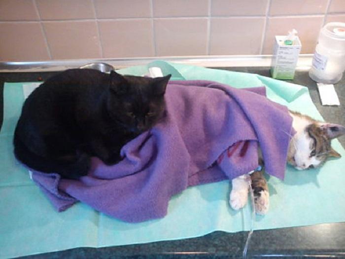 Выздоровевший кот отрабатывает полную ставку в качестве медбрата, в благодарность за свою спасённую жизнь.