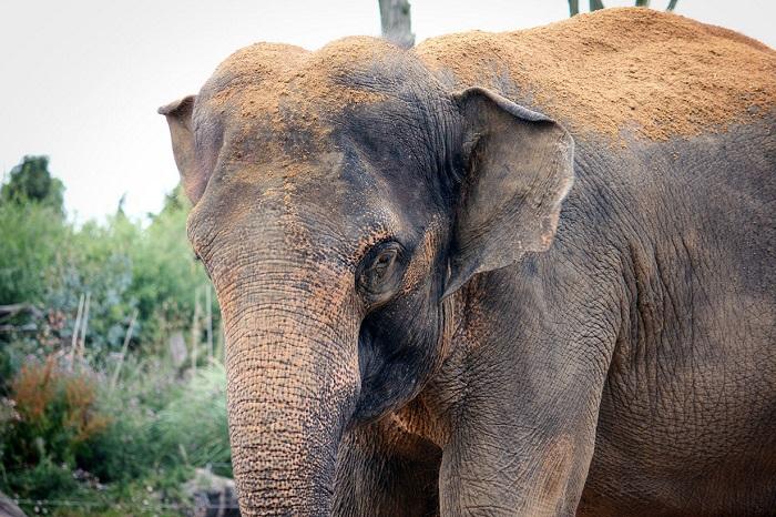 Азиатский слон.