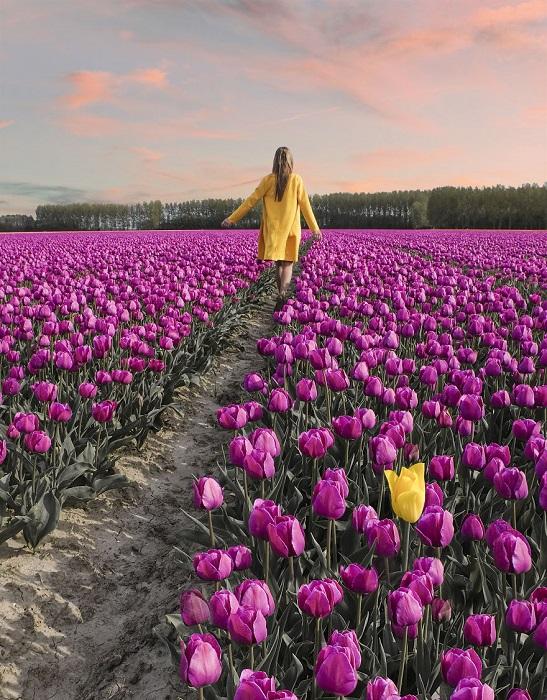 Красочное поле весенних цветов в Нидерландах.