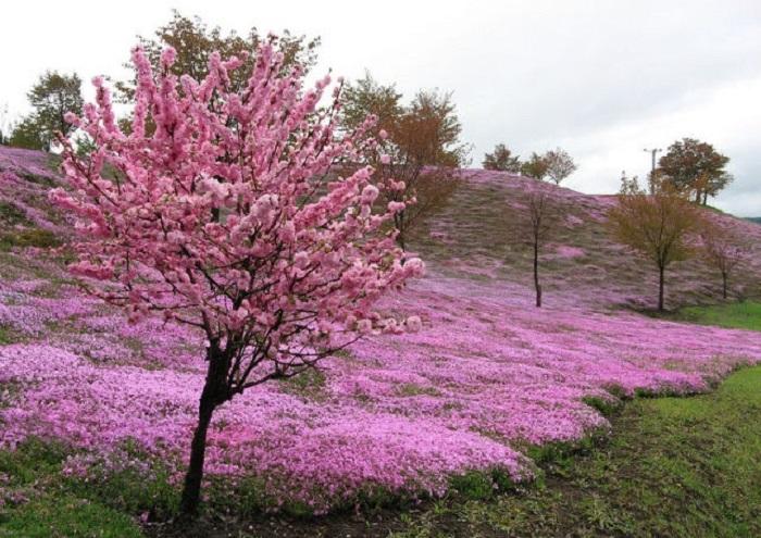 Цветы японской вишни - сакуры.