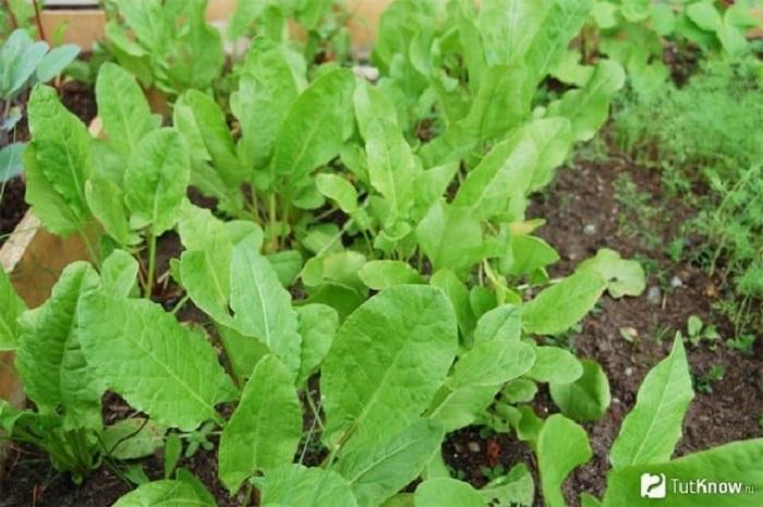 Кислый вкус зеленых листочков свежего щавеля в советское время был знаком чуть ли не каждому ребенку.