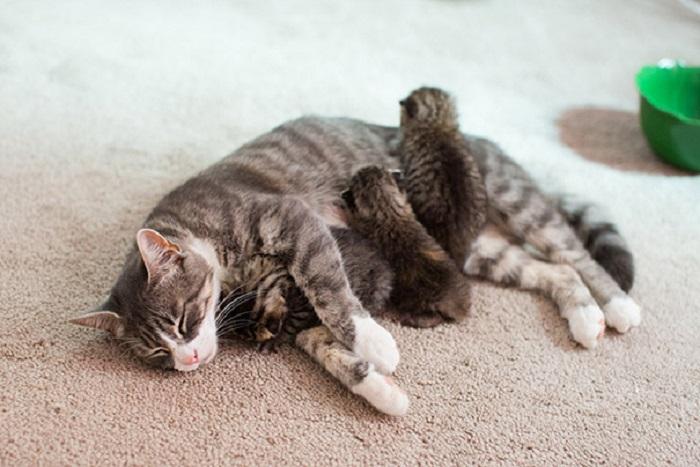Кошка с тремя приёмными котятками.