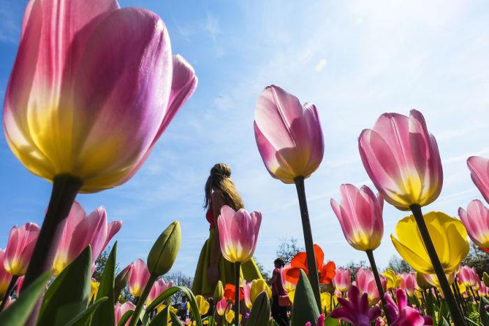 Цветущие тюльпанные поля привлекают множество туристов со всего мира.