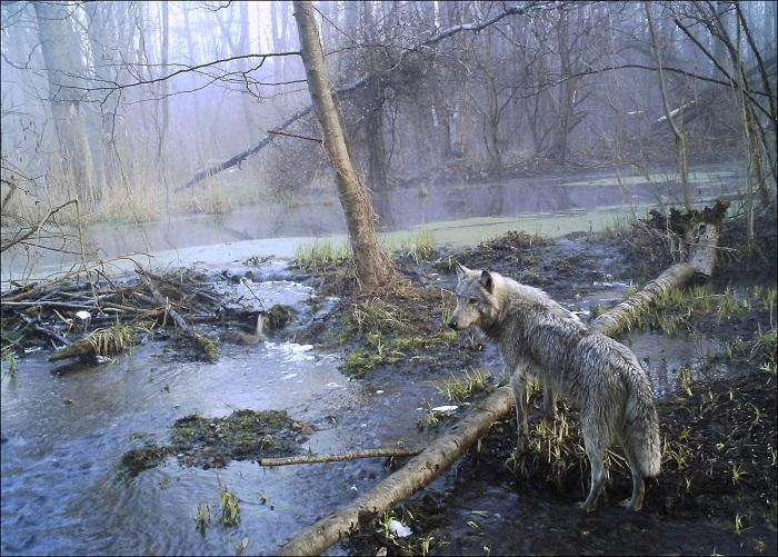 Волк, вблизи Чернобыльской АЭС, в апреле 2012 года.