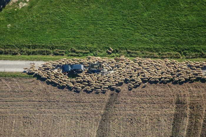 Водитель оказался на пути овечьего стада.