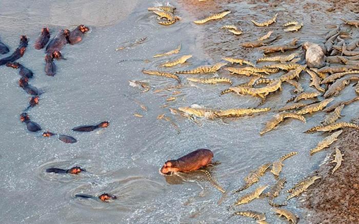 Противостояние крокодилов и бегемотов на реке.
