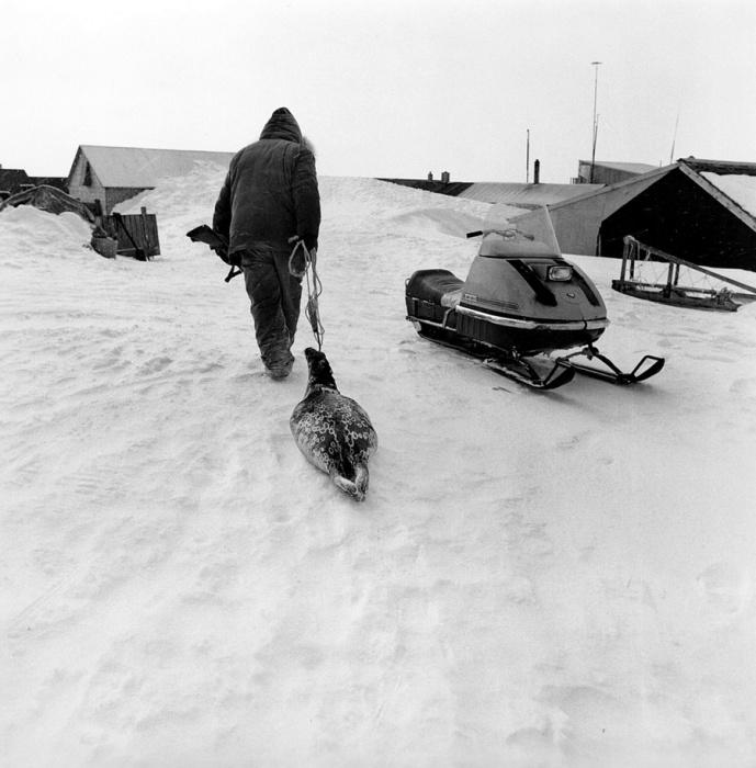 Мясо млекопитающих распределяется внутри общины для пропитания. Тунунак, Аляска, апрель 1975 год.