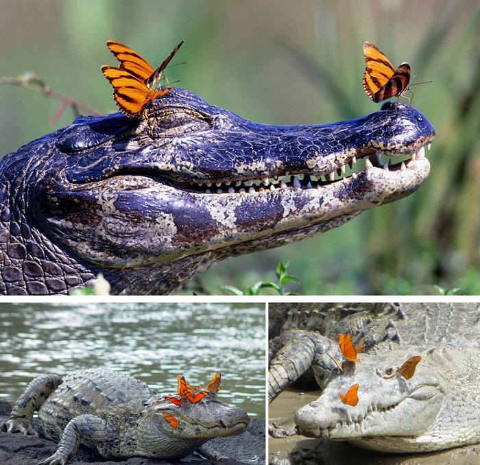 Крокодилы радуются солнцу и бабочкам.