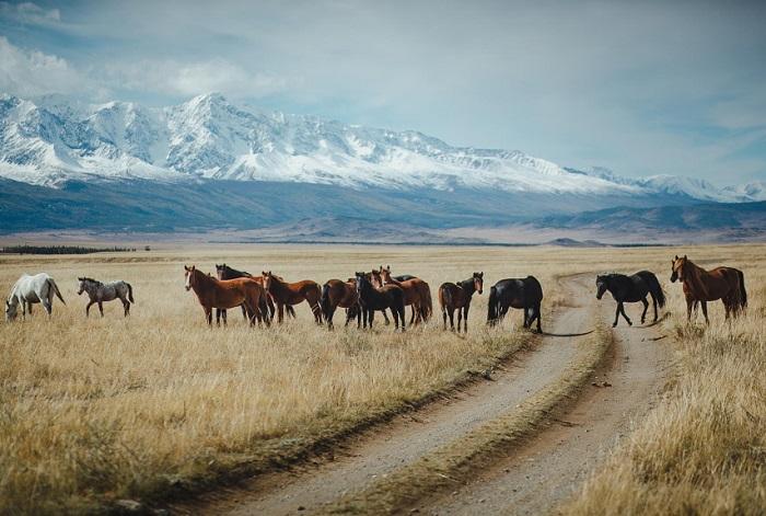 Крупные массивы естественных пастбищ, богатых растительностью, предоставляют отличную возможность развивать товарное коневодство в горных районах Алтая.