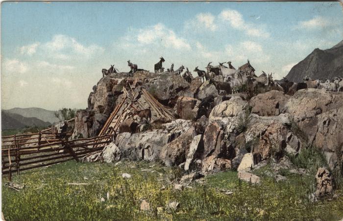 Жилище алтайцев (чаадыр) в окружении домашнего рогатого скота.