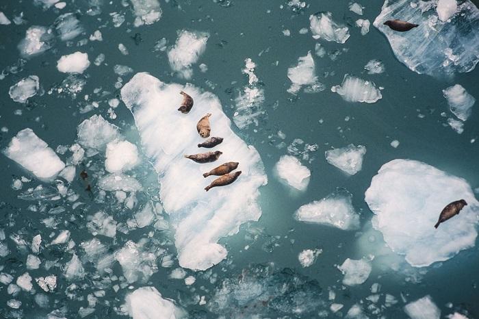 Отдых тюленей на айсбергах, вид с воздуха.