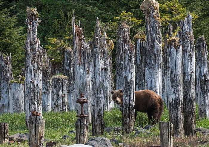 Бурый медведь в поисках пищи среди старых сланцев.