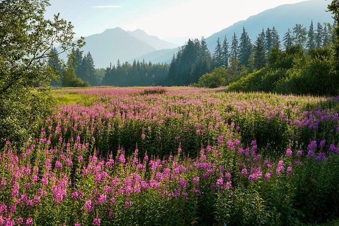 Полевые цветы Пурпура в пик своего цветения.