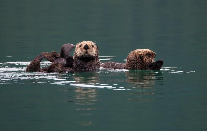 Семейство выдр на речной прогулке.
