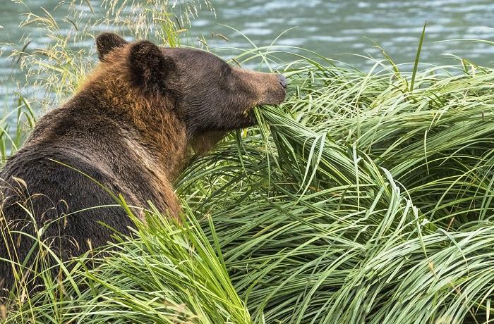 Бурый медведь решил изменить своим предпочтениям, вместо лосося его трапеза – трава.