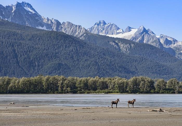 Берег реки Чилкат и два молодых лося.