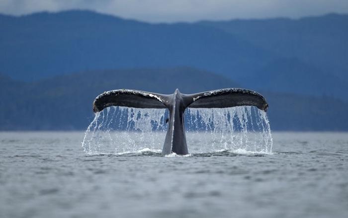 Летние прогулки горбатого кита.