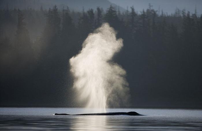 Мощные брызги при всплывании горбатого кита.