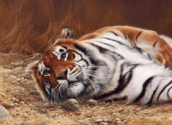 После удачной охоты тигр вальяжно возлежит и греется на солнце.
