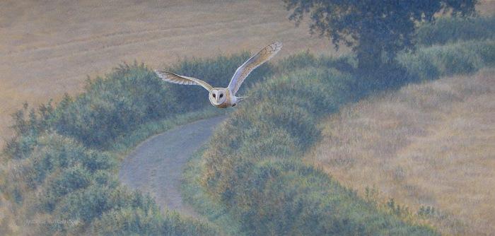 Хищная птица в полете, приближается с каждым взмахом крыльев.